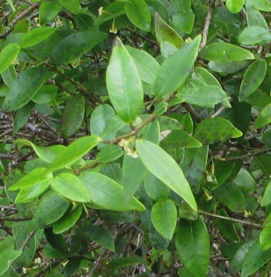 alyxia-reinwardtii-bi