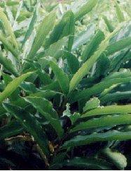 amomum-cardamomum-willd